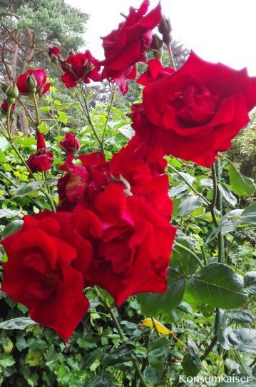 KK Garten Rosen