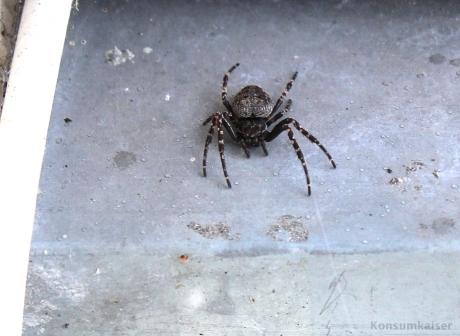 KK Spinne im Garten