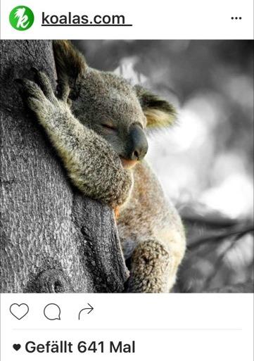 kk-insta-koala-sleeping