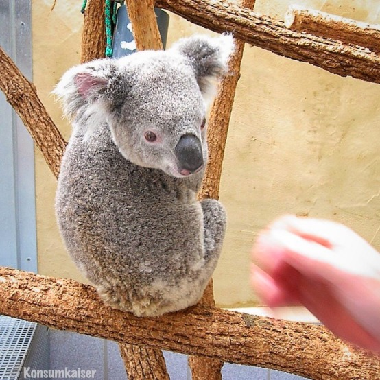 kk-koala-1