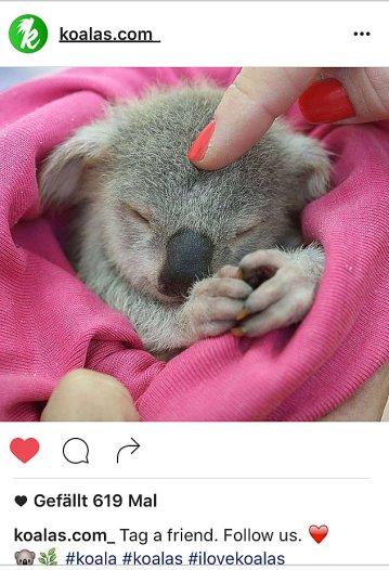 kk-koala-2
