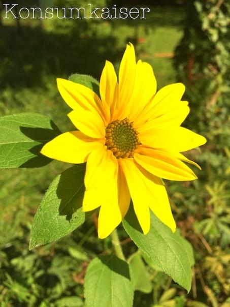 kk-sonnenblume