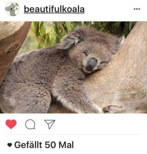 kk-koala-12