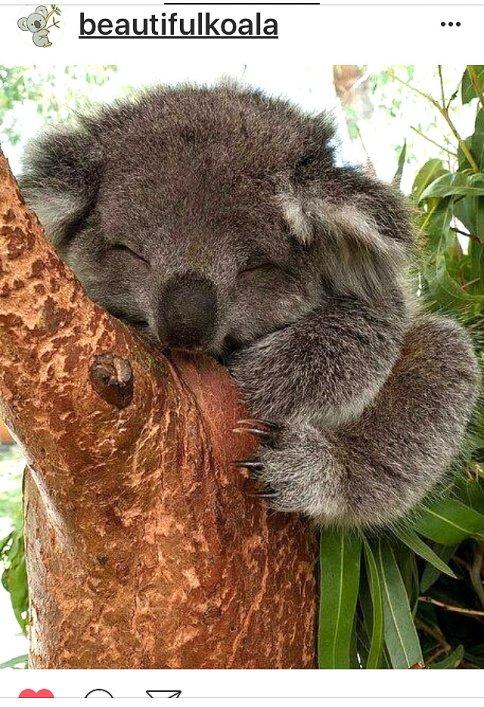 kk-koala-14