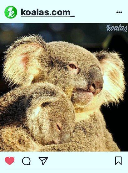 kk-koala-schlummert