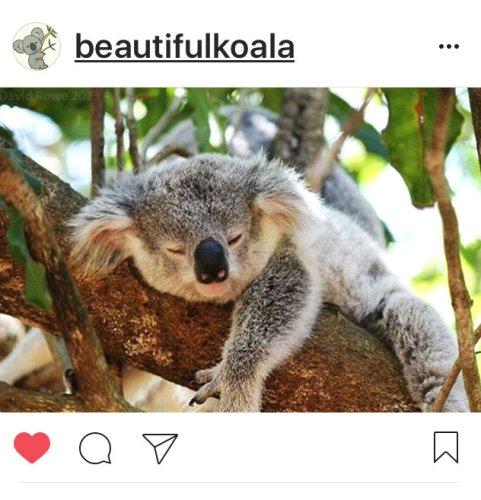 kk-koala-22