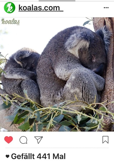 kk-koalas-2-sleep