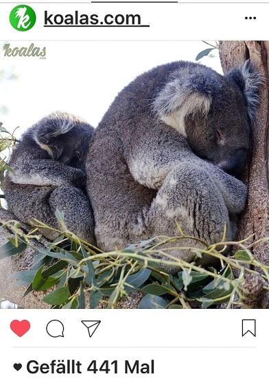 kk-koalas-2-sleep